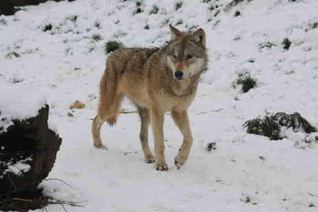 The Anglian Wolf Society - Three hour wolf encounter experience for one  - Save 51%