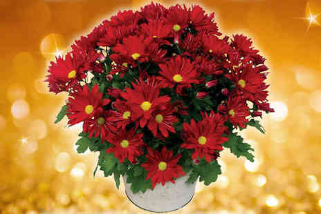 Garden wants - Festive Red Chrysanthemum with Metal Flowering Pot - Save 38%
