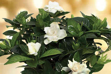 Garden wants - Christmas Gardenia with Metal Flowering Pot - Save 33%