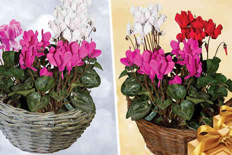 Garden wants - Cyclamen Christmas Flower Gift Basket Rustic or Ornate Basket - Save 41%