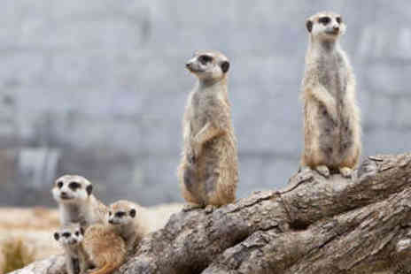 Wills Wild Animal Encounters - Meerkat Experience for Two - Save 61%