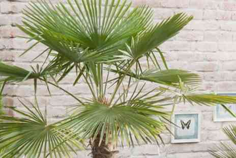 Hayloft Plants Limited - Exotic Hardy Palm With Free Delivery - Save 0%