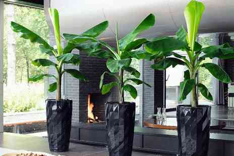 Perfect Plant Deal - Two, Four or Six Tropical Exotic Banana Trees With Free Delivery - Save 57%