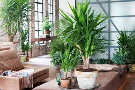 Perfect Plant Deals - Mini Palm Collection of Four Trees With Free Delivery - Save 48%