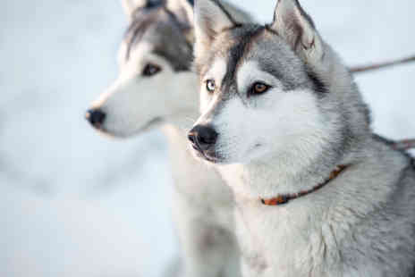 Horse and Husky - 12 month husky adoption pack including the chance to meet your sponsored husky  - Save 53%