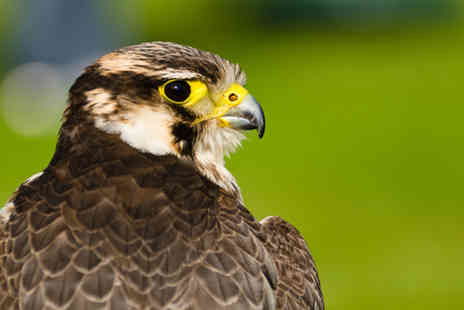Excel Falconry - Two hour birds of prey experience meeting falcons, hawks, owls and more  - Save 0%