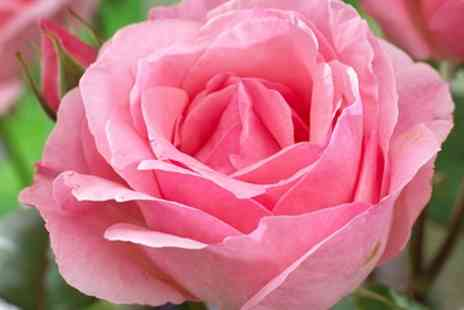 You Garden - Best Ever Rose Bush Collection With Five Bare Root Bushes With Free Delivery - Save 20%