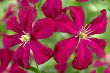 You Garden - Three Repeat Flowering Clematis - Save 15%