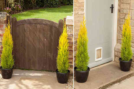 Blooming Direct -  Pair of scented golden cypress trees - Save 40%