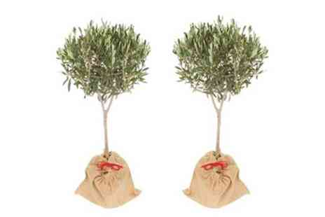 You Garden - Pair Mini Standard Olives 50 to 60cm With Free Delivery - Save 57%