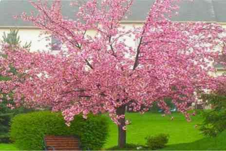 Garden Express - Double Flowering Cherry-Almond Tree With Free Delivery - Save 60%