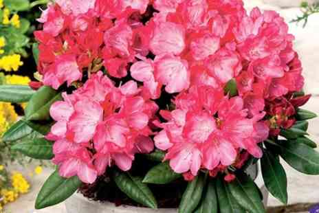 Suttons - Rhododendron in 3 Litre Pots With Free Delivery - Save 55%