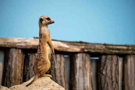 Chessington World of Adventures - Mystery animal encounter with penguins, meerkats or capybaras and park entry for two  - Save 49%