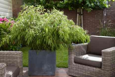 You Garden - Pair of Fargesia Fountain Bamboos 50cm to 60cm Tall With Free Delivery - Save 20%