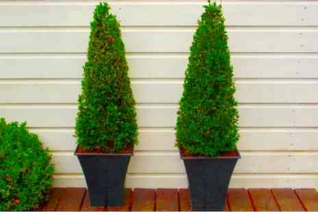 Gardenign Express - Two Topiary Buxus Pyramid With Free Delivery - Save 60%