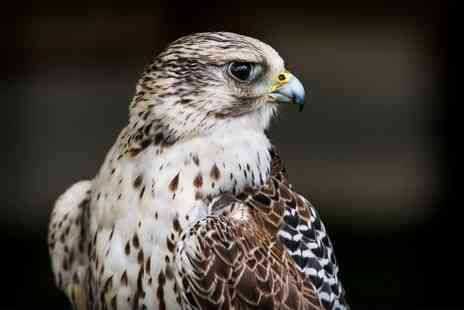 Falconry Days - Birds of Prey Digital Photography Experience - Save 65%
