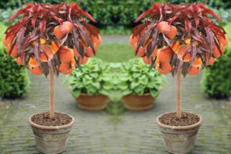 Garden Express - Red Leaf Peach Tree With Free Delivery - Save 50%