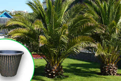 Blooming Direct - Pair of 1.4m Phoenix Palm Trees With Pots - Save 46%