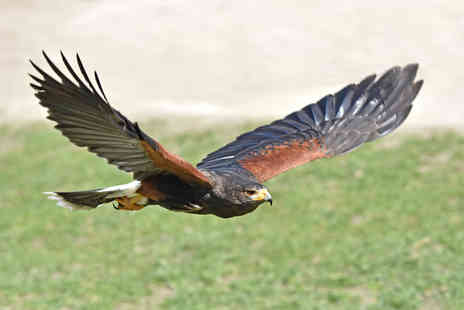 Xtreme Falconry - Half day hawking experience for one person - Save 71%