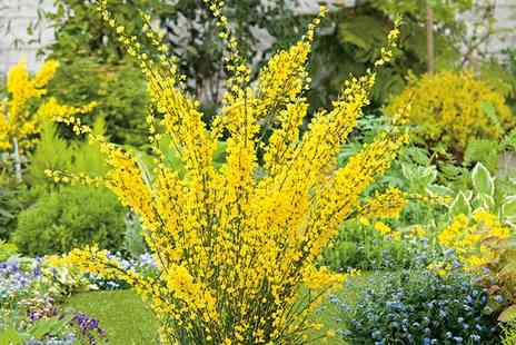 Suttons Seeds - Cytisus Plants 1 Praecox and 1 All Gold With Free Delivery - Save 64%
