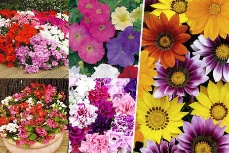Dobies of Devon - Pack of 135 bedding plants Plus Delivery Included - Save 44%