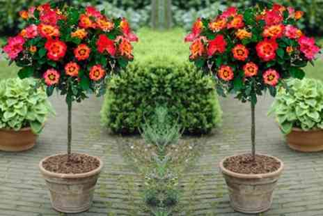Garden Express - Pair of Standard Rose Trees in Choice of Colour With Free Delivery - Save 50%