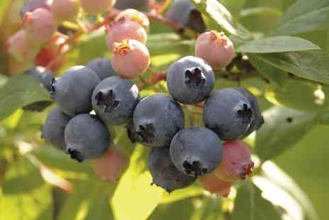 You Garden Limited - Blueberry Collection of 3 - Save 47%