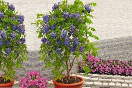 Garden Express - Wisteria Frutescens Amethyst Falls Plant With Free Delivery - Save 50%