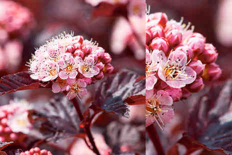 Dobies of Devon - Two Physocarpus plants - Save 53%