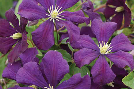 Jersey Plants Direct - Three 7cm Clematis Etoile Violette Potted Flowers - Save 35%