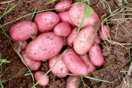 Suttons Seeds - Sarpo Potato Tubers With Free Delivery - Save 47%