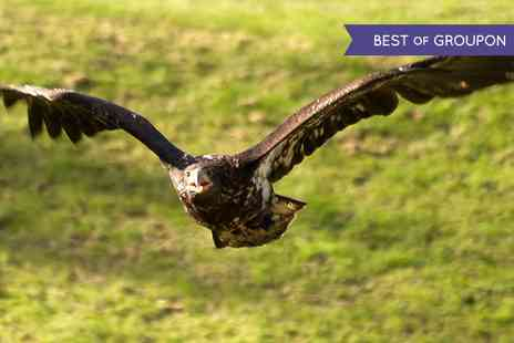 Hawks Of Steele - Falconry Experience with Hawks, Owls and Falcons For One, Two or Four  - Save 53%