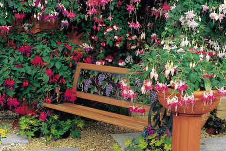 Dobies of Devon - Six fuchsia plug plants - Save 25%