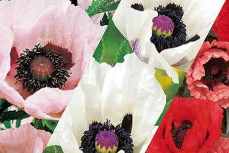 Suttons Seeds - Poppy Plant Collection of 10 or 20 plants - Save 65%