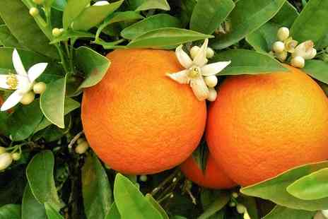 You Garden Limited - 1.2m Tall Orange and Lemon Trees With Free Delivery - Save 25%