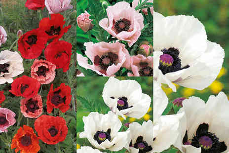 Dobies of Devon - 10 or 20 mixed poppy plants - Save 60%