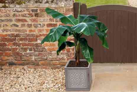 You Garden - Three Varieties of Banana Collection With Free Delivery - Save 52%