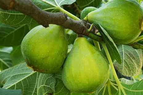 You Garden Limited - The Chelsea Fig Standard Tree With Free Delivery - Save 0%