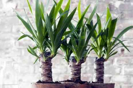 Garden Express - Set of Three Indoor Yucca Trees With Free Delivery - Save 38%