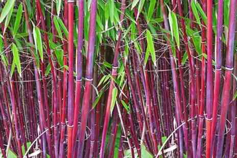 Garden Express - One, Two or Three Red Stem Bamboo Plants With Free Delivery - Save 28%