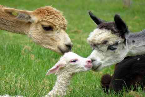 Petlake Alpacas - Alpaca Experience for One or Two - Save 0%
