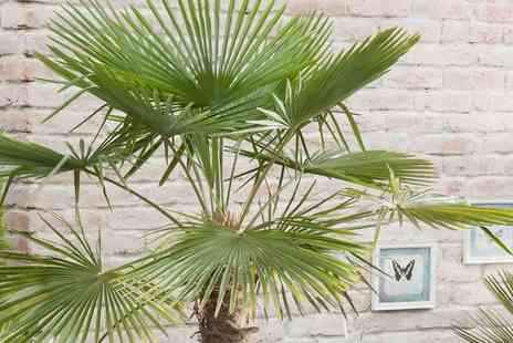 Hayloft Plants - Exotic Hardy Palm Trachycarpus from Fortunei With Free Delivery - Save 0%