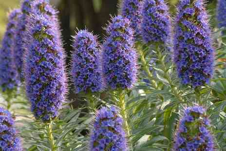 Hayloft Plants - Three Echium Candicans or Six Echium Candicans Plants - Save 0%