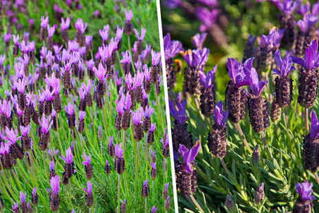 Blooming Direct - Three or Six French lavender plants - Save 40%