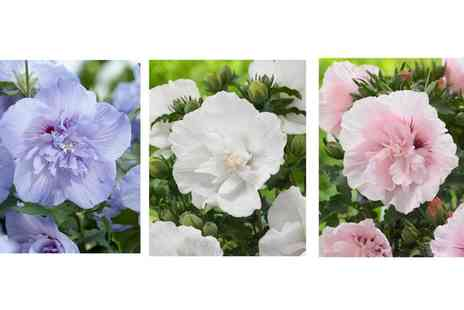 Hayloft Plants - Hardy Hibiscus Collection in Choice of Colours - Save 0%