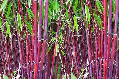 Garden Express - One, Two or Three Red Stem Bamboo Plant With Free Delivery - Save 43%