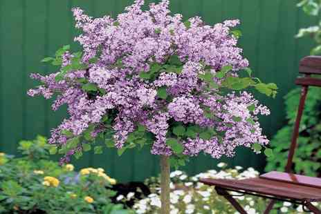 Van Meuwen - Lilac Dwarf Standard Tree With Free Delivery - Save 0%
