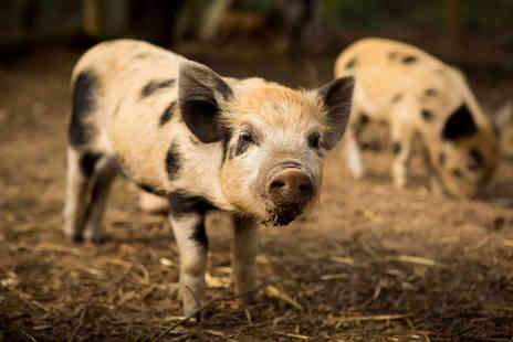 Kew Little Pigs - Two hour micro pig experience for one or family of four - Save 43%