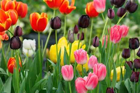 Van Meuwen - Tulip Rockstar Collection 100 or 200 Bulbs With Free Delivery - Save 0%
