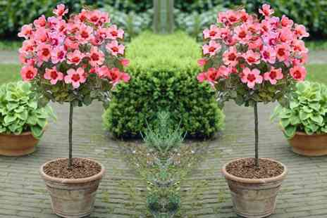 Gardening Express - Pair of Babylon Eyes Rose Trees And Planters With Free Delivery - Save 0%